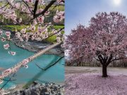Hunza cherry blossom